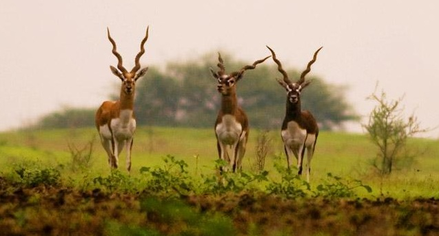 Ranebennur Blackbuck Deer. Image source http://wikimapia.org/17838635/Ranebennur-Blackbuck-Deer-Sanctuary