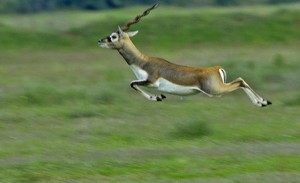 Jayamangali Blackbuck Reserve, Ranebennur Blackbuck Deer. Image source http://wikimapia.org/17838635/Ranebennur-Blackbuck-Deer-Sanctuary