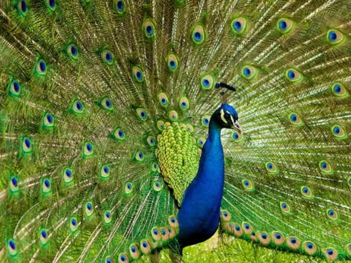 Bankapur peacock sanctuary