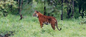Kemmanagundi ,Indian Tiger at Bhadra wildlife sanctuary by Dineshkannambadi