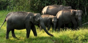 Near Mysore, Elephants at Bandipur National Park