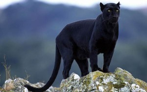 Black Panther at Anshi National Park.