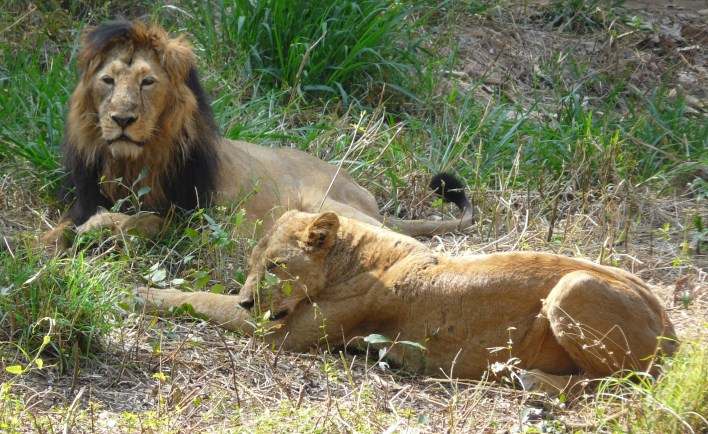Karnataka Tourism, Lions at Bannerghatta National Park. Photographer Ashwin Kumar