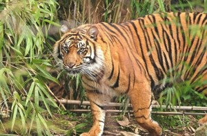 Tiger spotted at Someshwara Wildlife Sanctuary. Image source sanctuariesindia.com