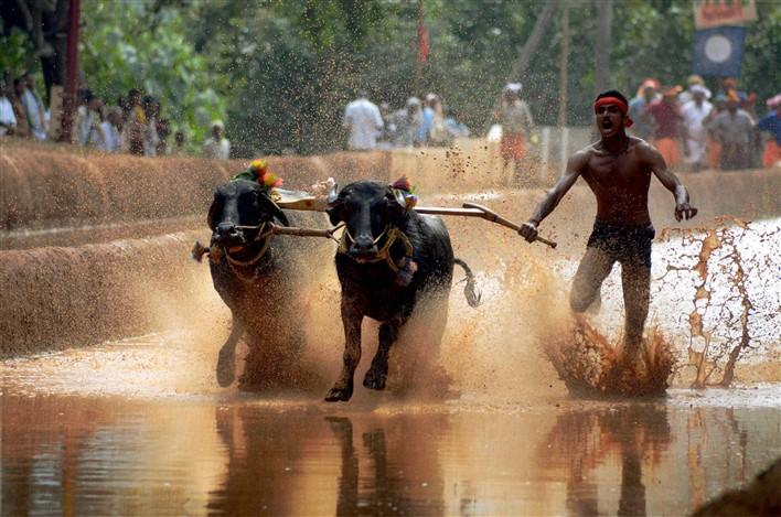 Buffalo Race in Mangaluru,Kambala