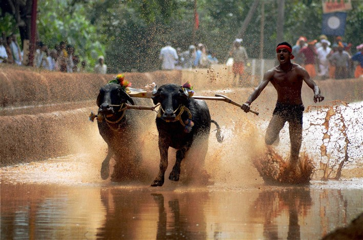 Buffalo Race in Mangaluru,Kambala