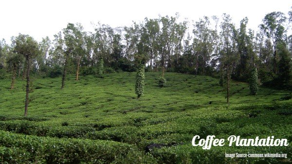 Coffee Plantation in Chikmagalur