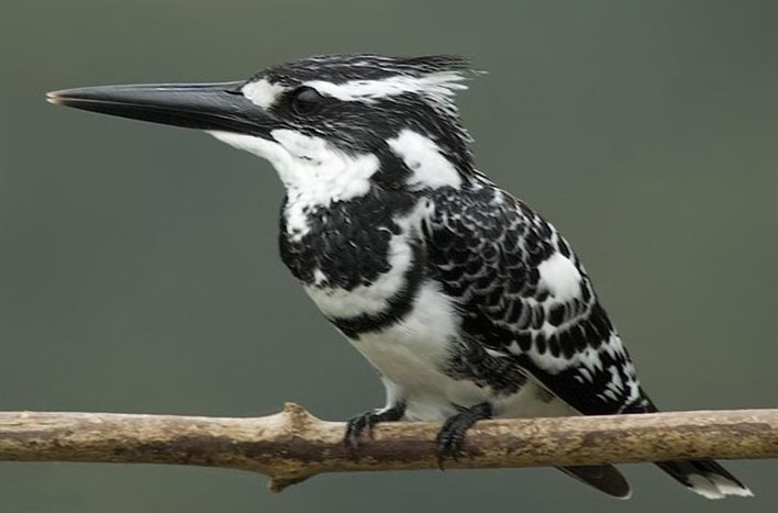 Pied Kingfisher (Ceryle Rudis). Photographer Rakesh Dhareshwar