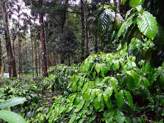 Silver Brook coffee planation, Coorg, Kakkabe