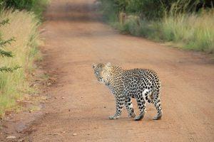 Leopard Rescue Centers In Karnataka